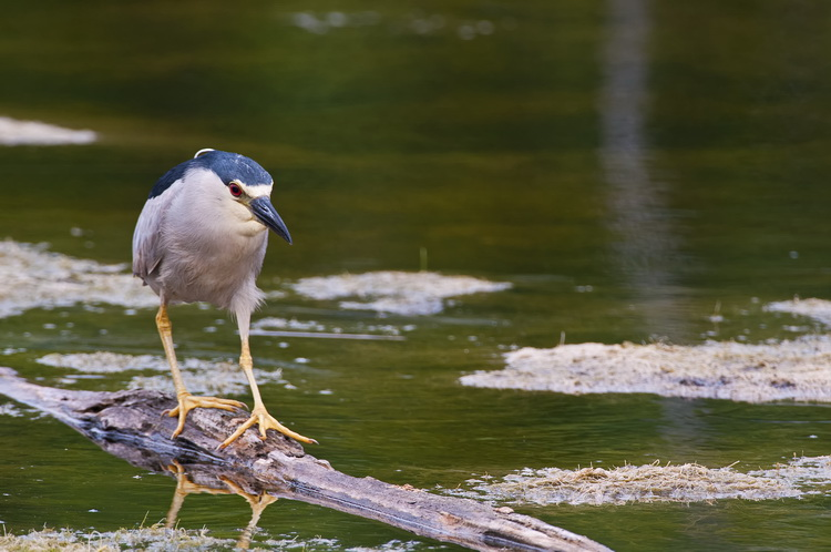Night Heron Picture-175