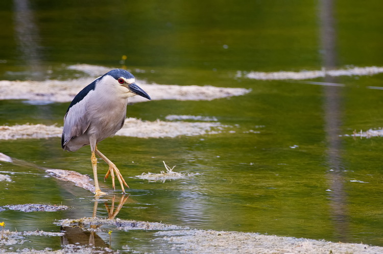 Night Heron Picture-177