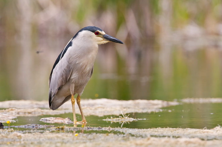 Night Heron Picture-178