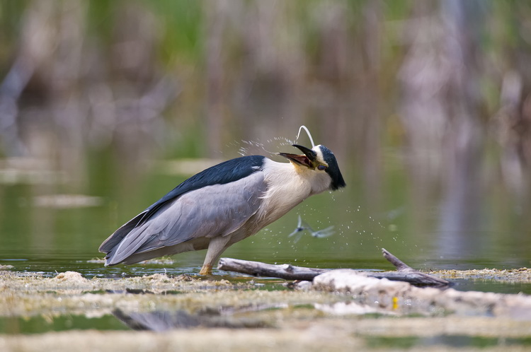Night Heron Picture-181