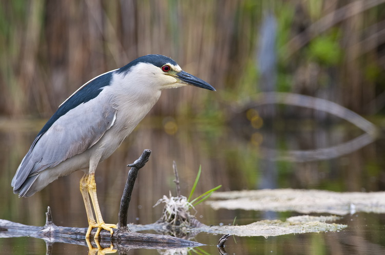 Night Heron Picture-185