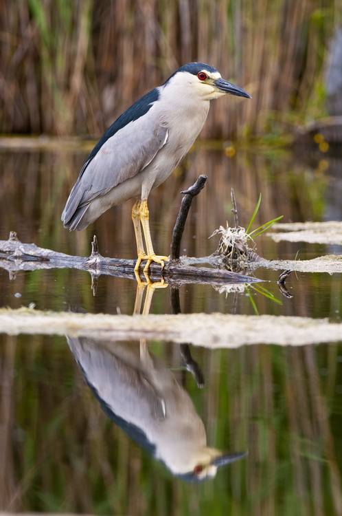 Night Heron Picture-186