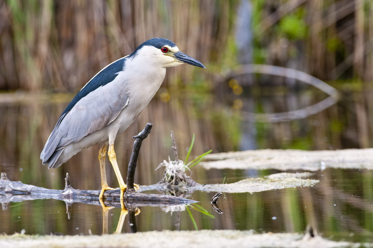 Night Heron Picture-188
