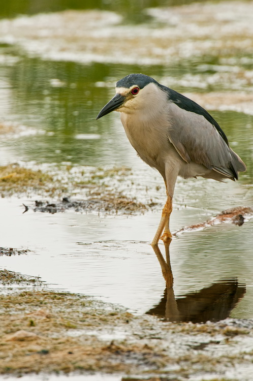 Night Heron Picture-190