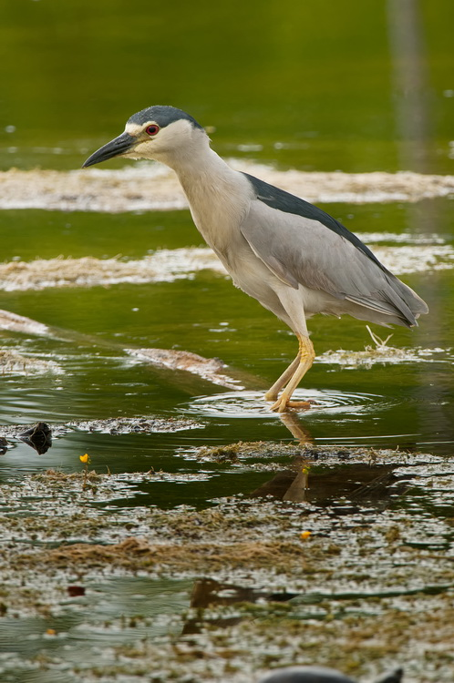 Night Heron Picture-191
