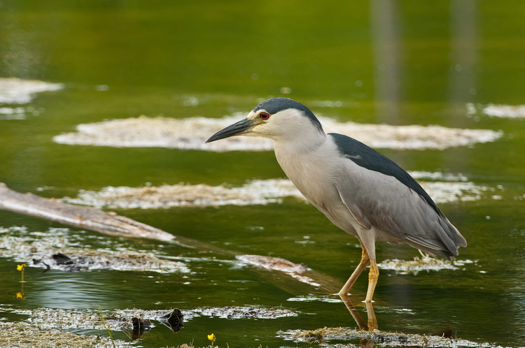 Night Heron Picture-192