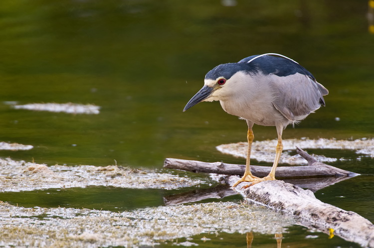Night Heron Picture-193