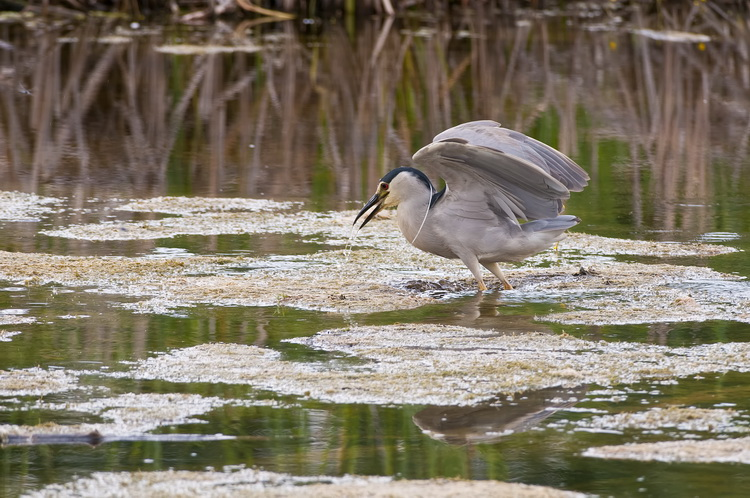 Night Heron Picture-194