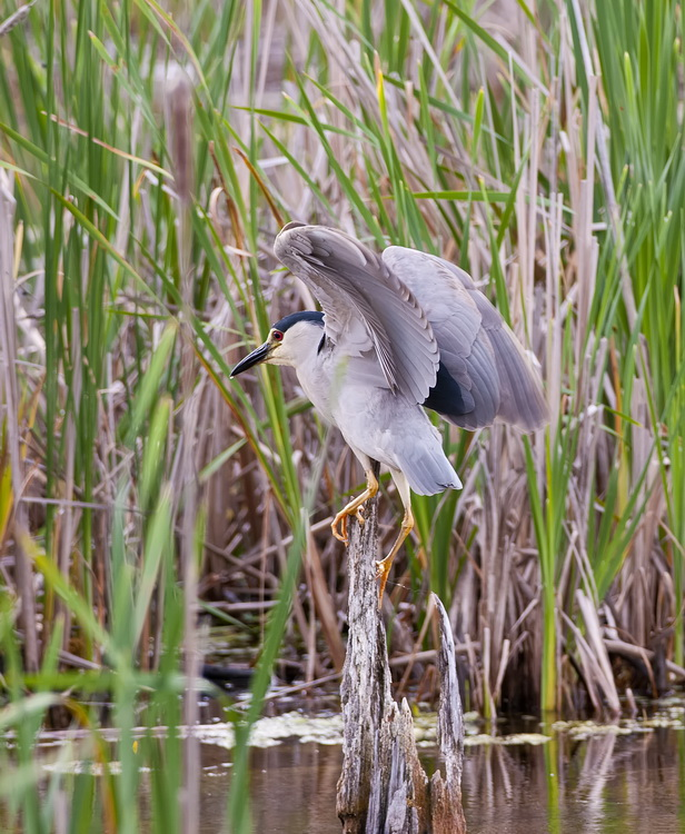 Night Heron Picture-195