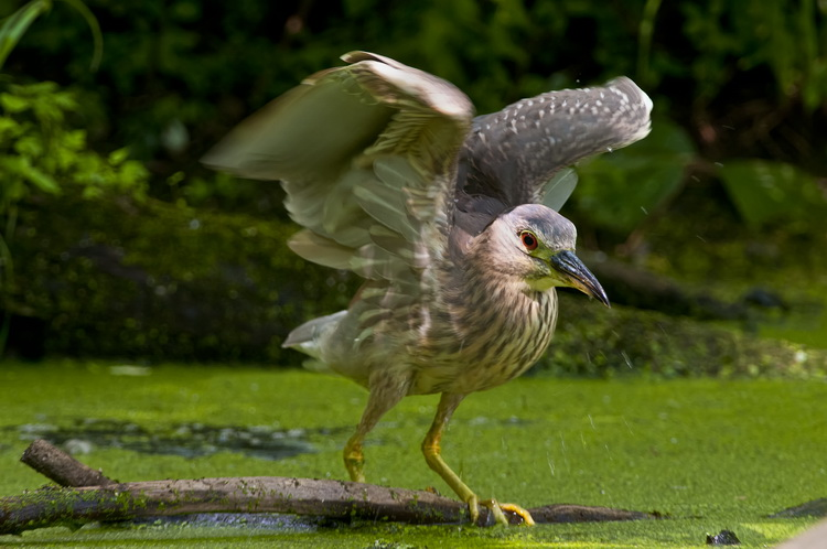 Night Heron Picture-196