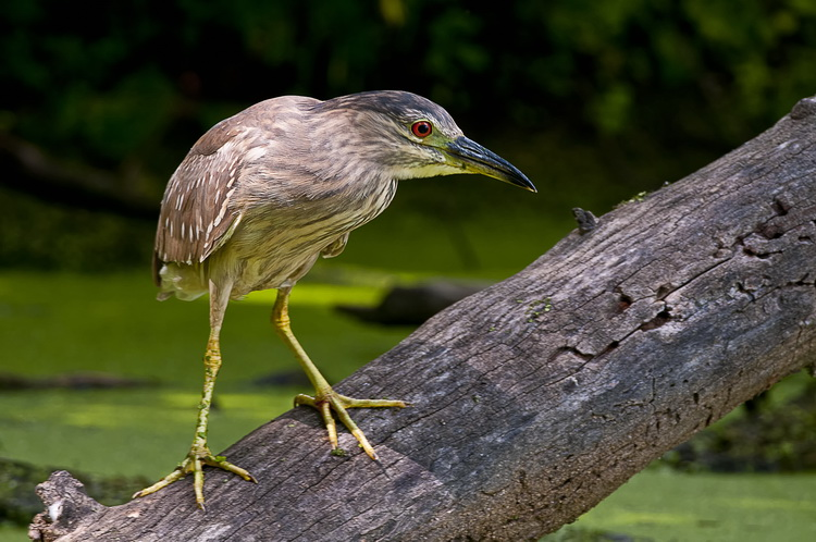Night Heron Picture-198