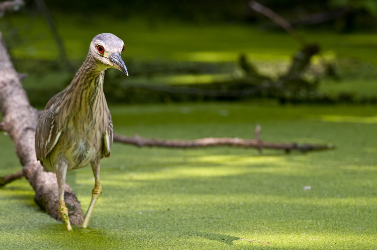 Night Heron Picture-200