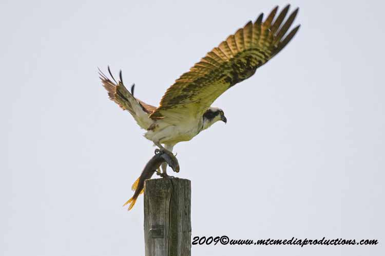 Osprey Picture-00