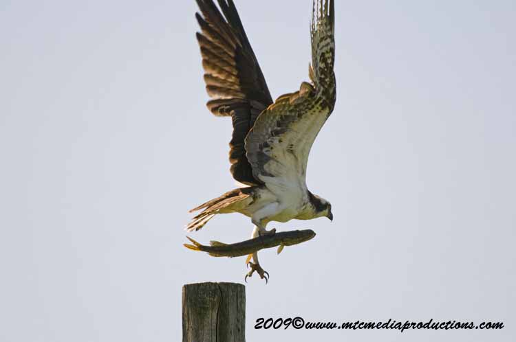 Osprey Picture-01