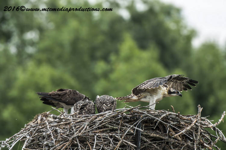 Osprey Picture