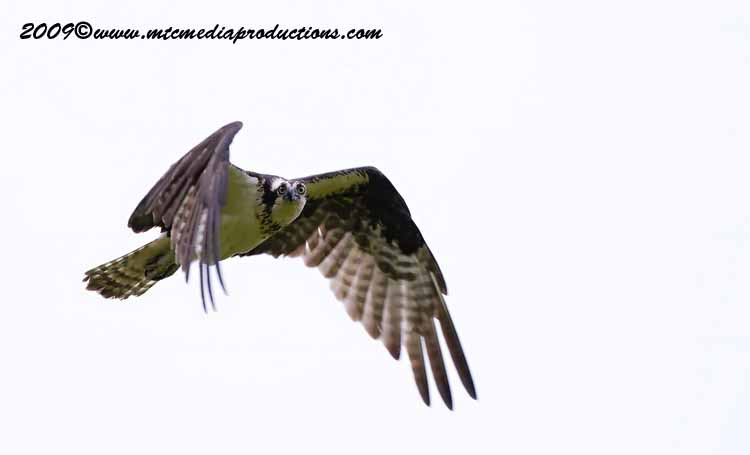 Osprey Picture-11