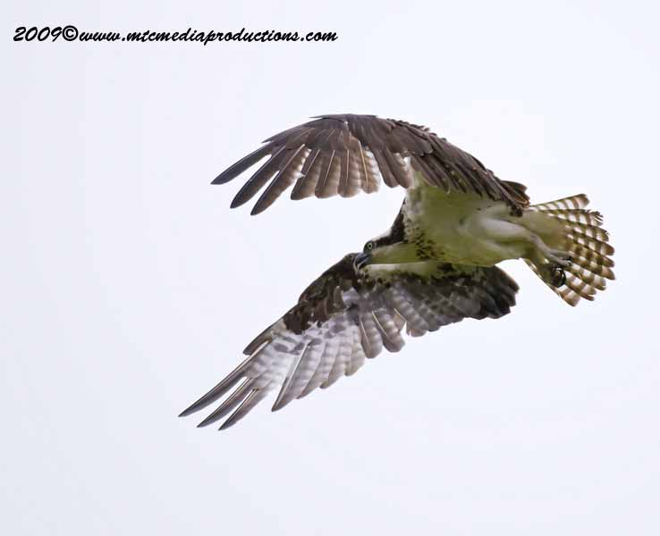 Osprey Picture-12