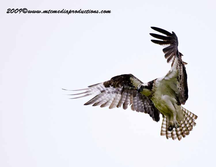 Osprey Picture-13