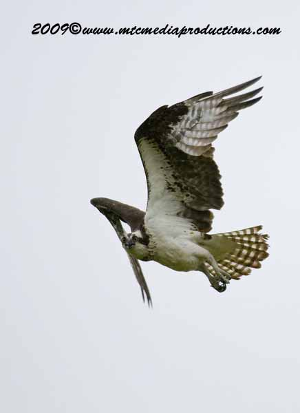 Osprey Picture-15