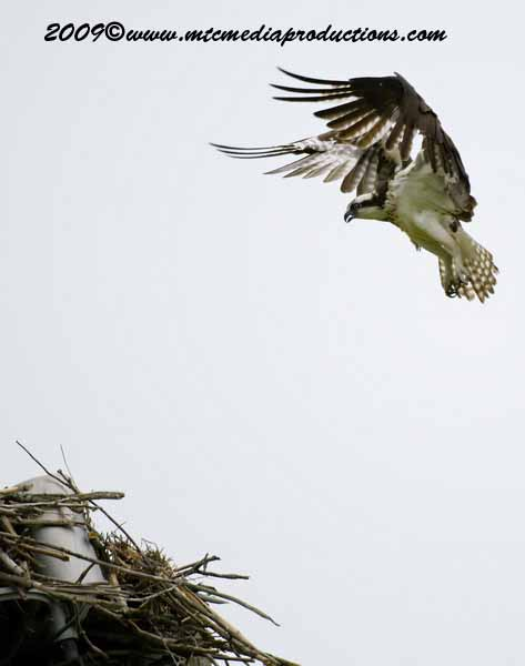 Osprey Picture-17