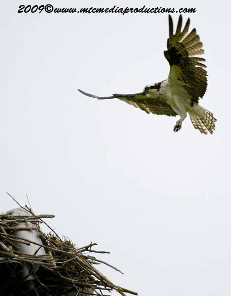 Osprey Picture-18