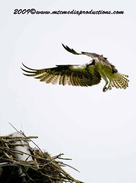 Osprey Picture-19