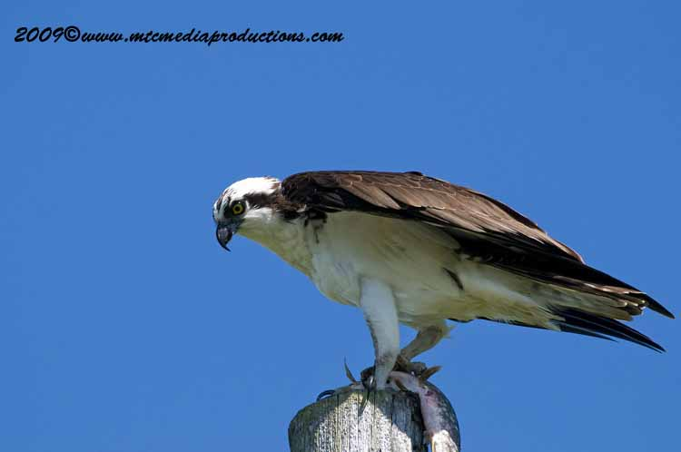 Osprey Picture-02