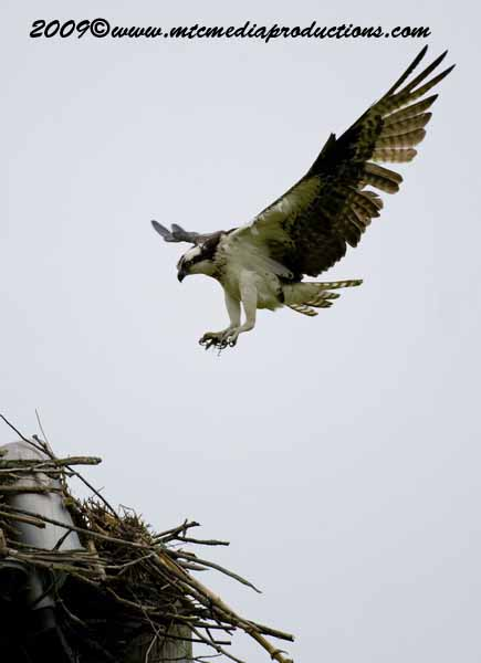 Osprey Picture-20