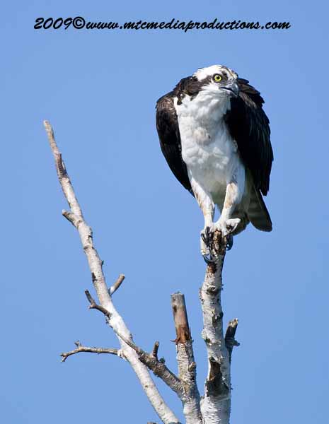 Osprey Picture-22