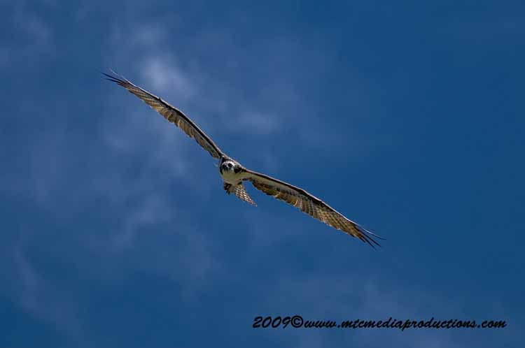 Osprey Picture-24