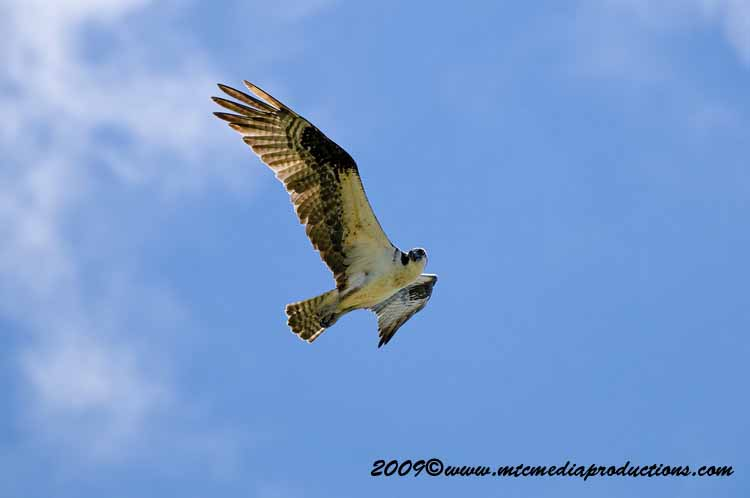 Osprey Picture-25