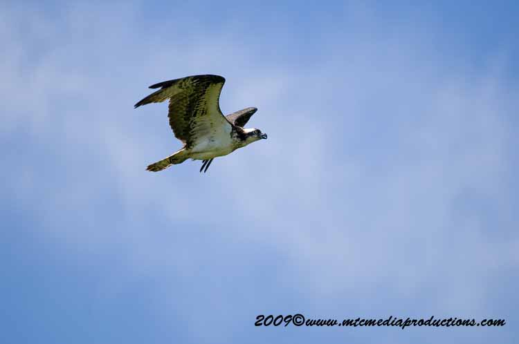 Osprey Picture-26