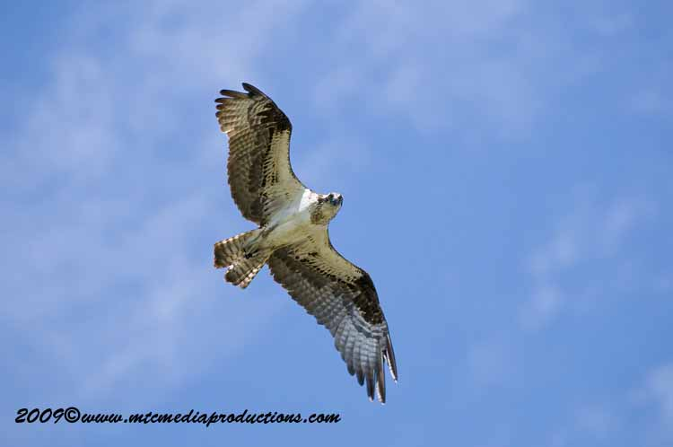 Osprey Picture-29