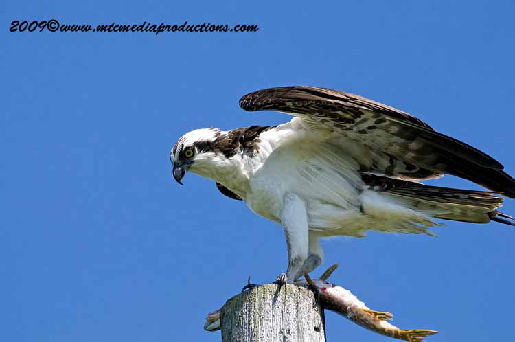 Osprey Picture-03