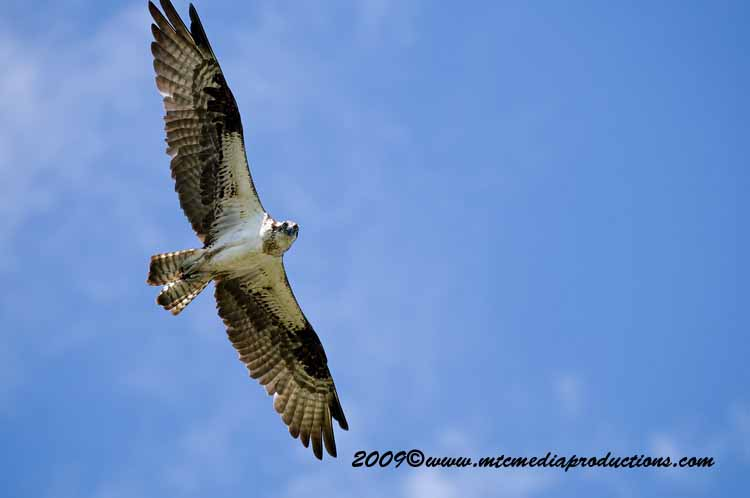 Osprey Picture-30