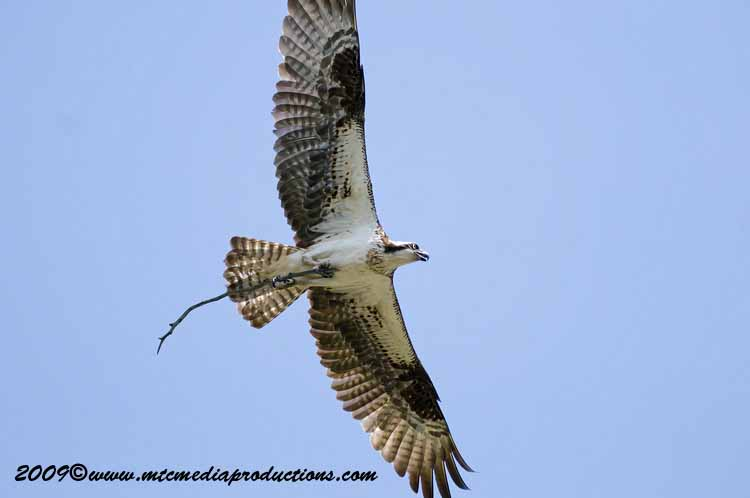 Osprey Picture-31