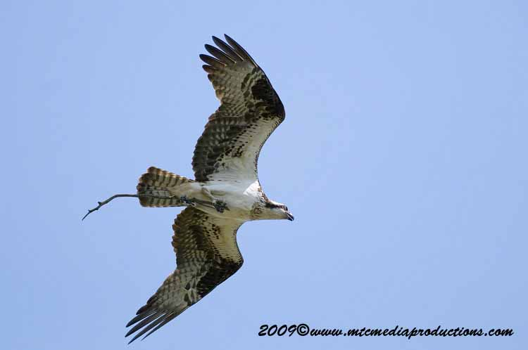 Osprey Picture-32