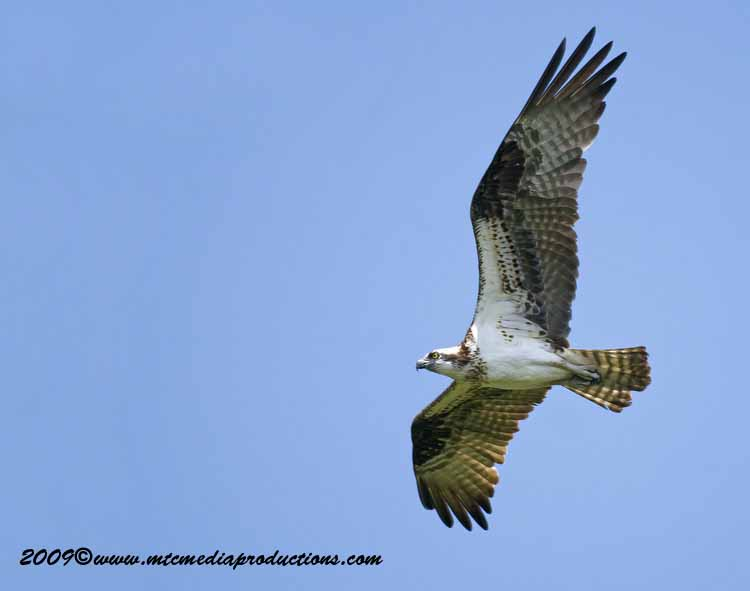 Osprey Picture-33
