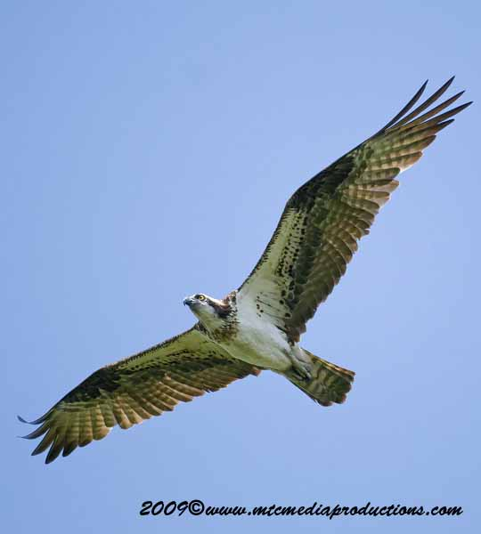 Osprey Picture-34