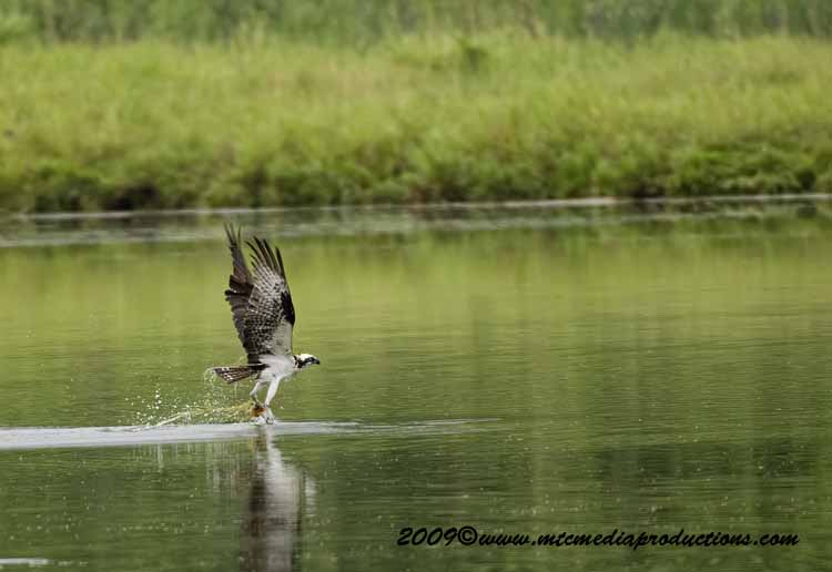 Osprey Picture-37