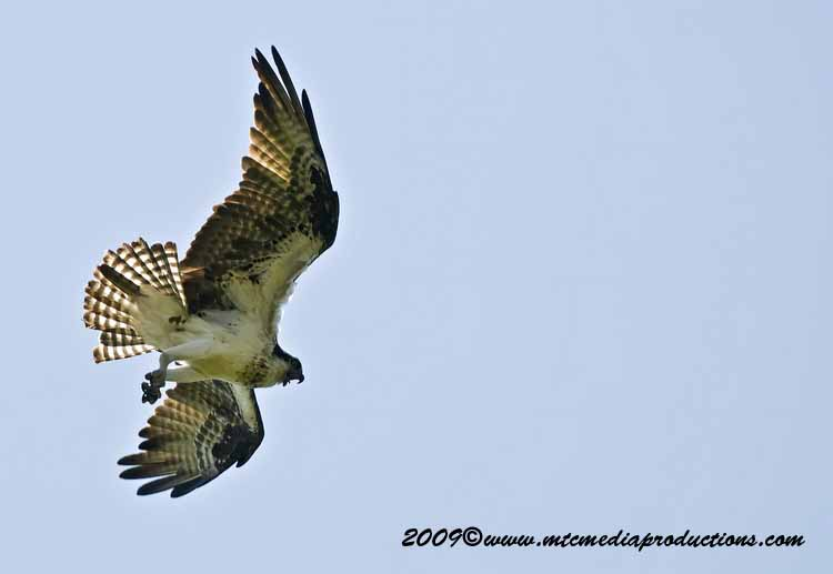 Osprey Picture-39