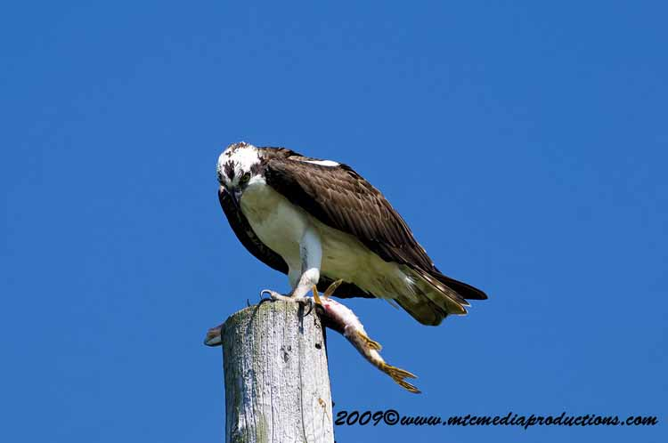 Osprey Picture-04