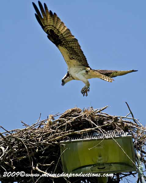 Osprey Picture-40