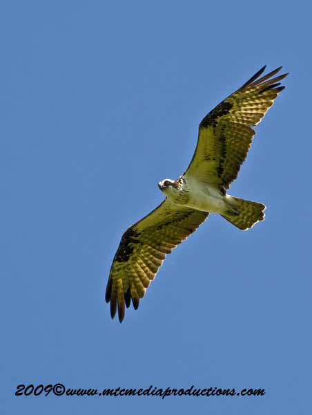 Osprey Picture-41