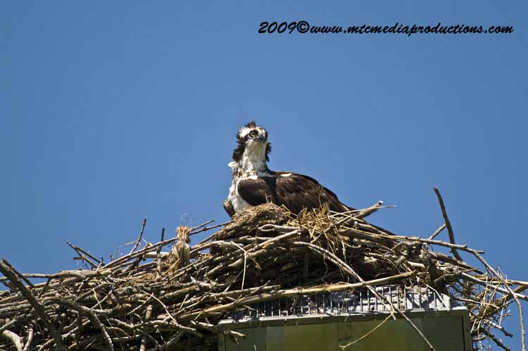 Osprey Picture-42