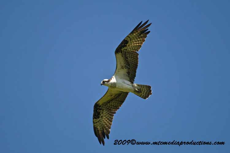 Osprey Picture-44