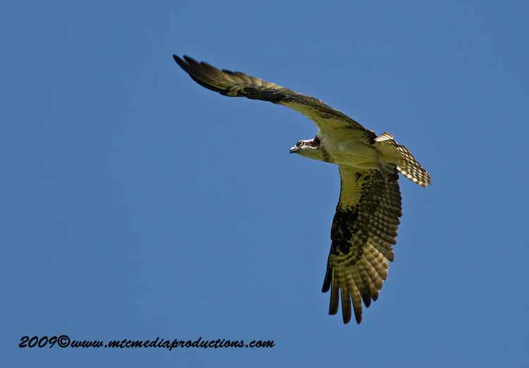 Osprey Picture-47