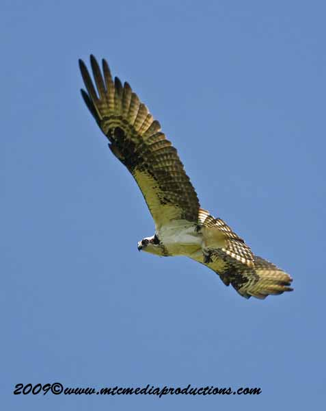 Osprey Picture-48
