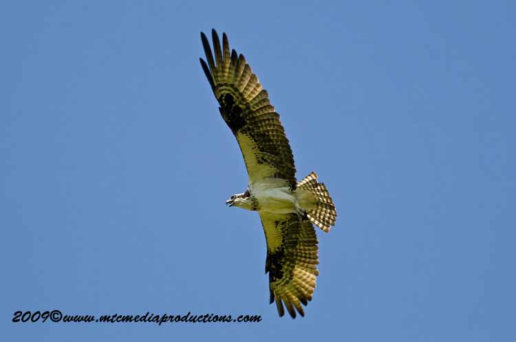 Osprey Picture-49