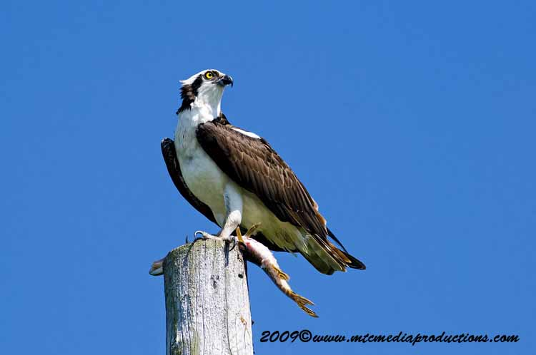 Osprey Picture-05